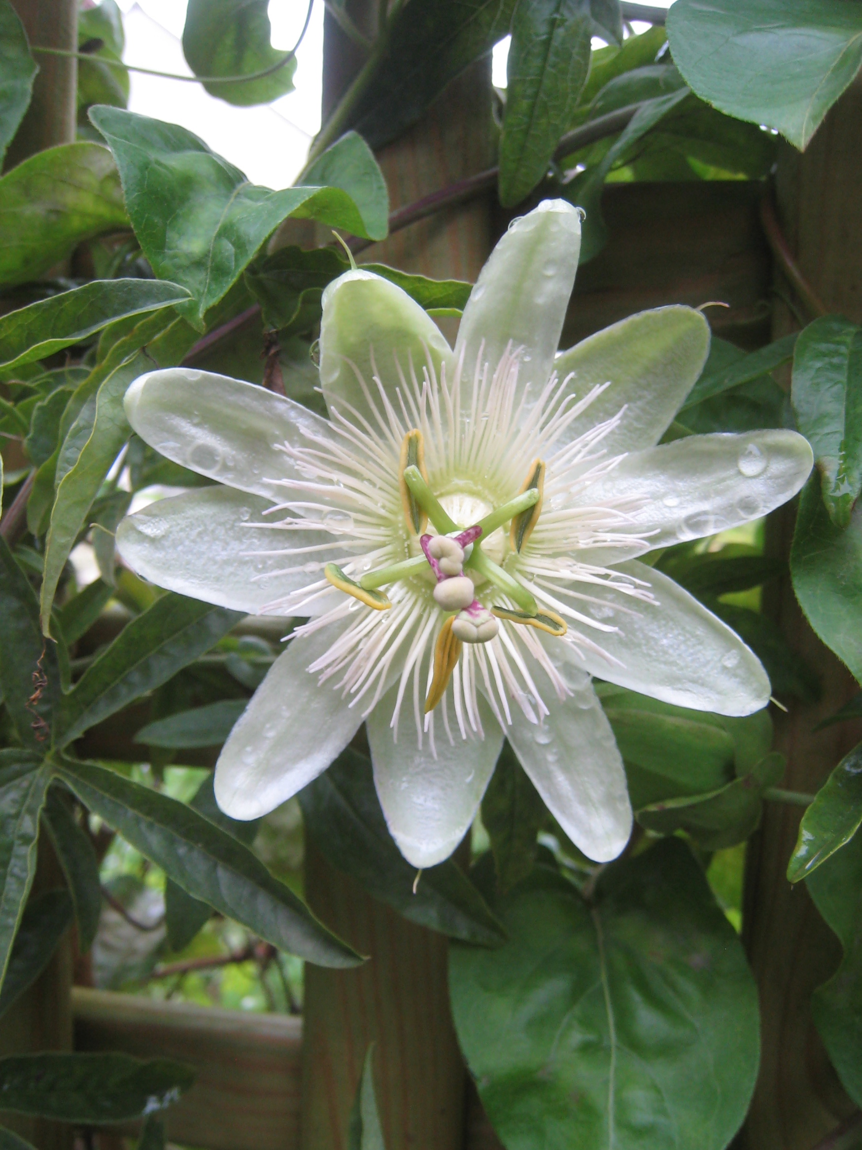 Passion flower mybeautfulthings white passion flower dhlflorist Images