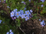 Forget-me-nots for my Mum23:5:2012
