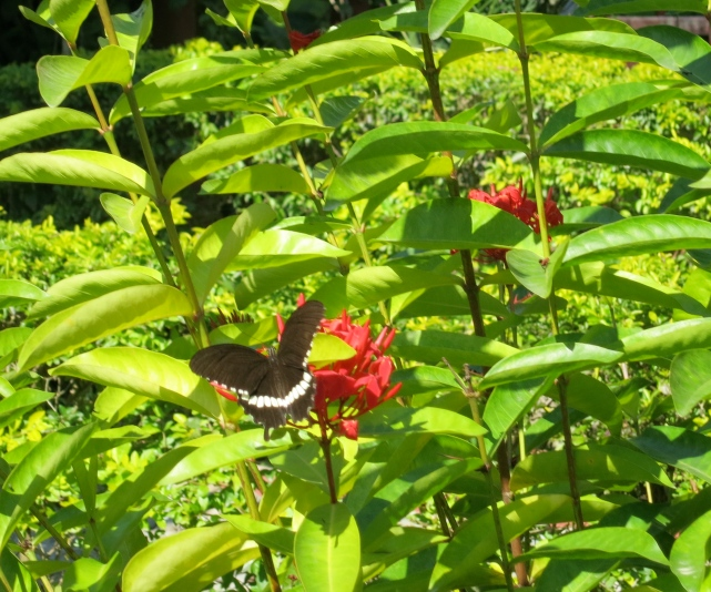 Another butterfly in the garden in Nepal