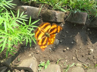 Butterfly the same colour as the marigold it has alighted on