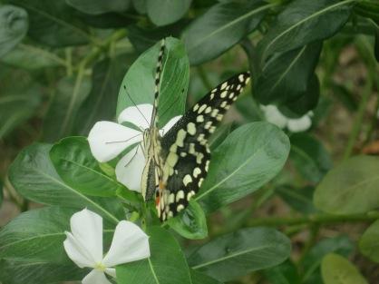 Papilio demoleus, Nepal, I think