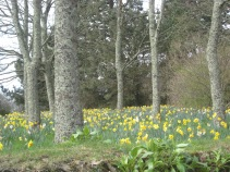 March 2012 - Daffodils in Trelissick Gardens