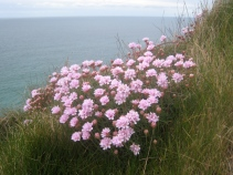 April 2012 - thrift on the cliffs at Chapelporth on the North Coast