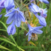 Bee on Agapanthus