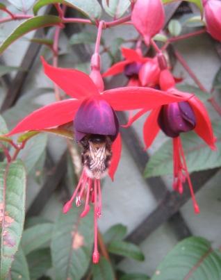 Bee getting nectar from Fuchsia