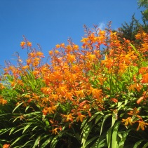 Montbretia lighting up our hedge