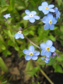 Forget-me-nots, May/June