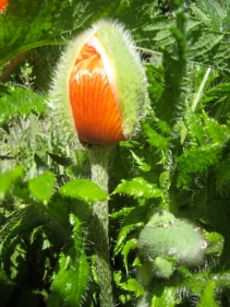 Poppy bud about to burst open