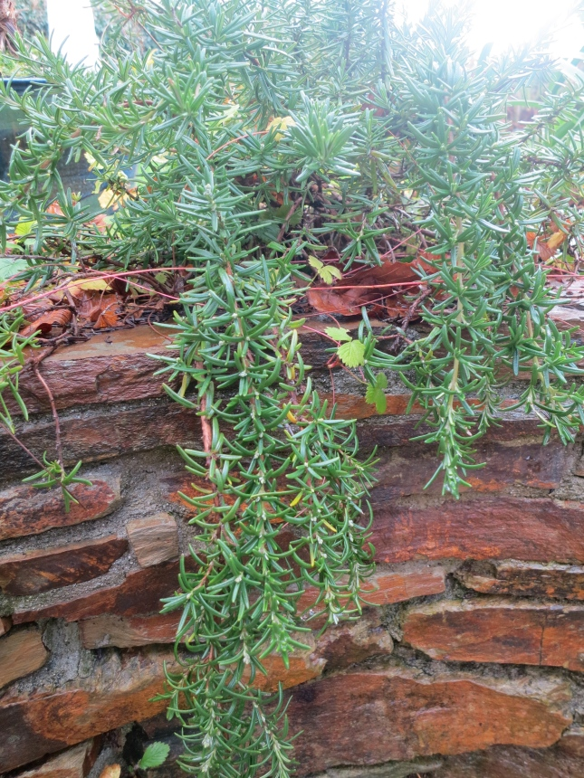 Rosemary in the garden