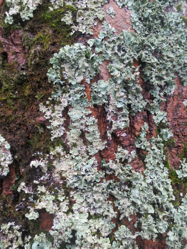 Lichen and moss on copper coloured bark