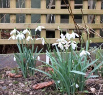 Snowdrops, Feb/Mar