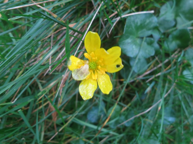 Weather-beaten buttercup