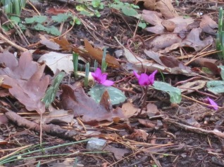 Cyclamen and Snowdrop leaves