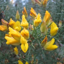 Gorse, web and Cornish mist droplets