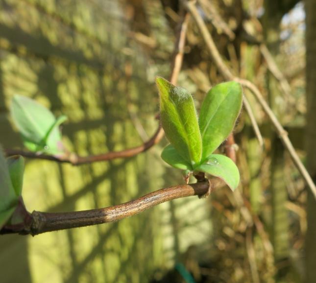 Honeysuckle bud