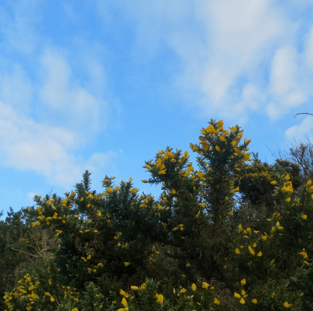 Look carefully beyond the gorse to the moon in the sky