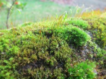 Vibrant green moss with tiny flowers