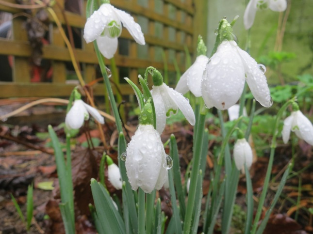Snowdrops with raindrops