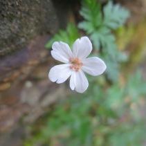 White hedgerow flower