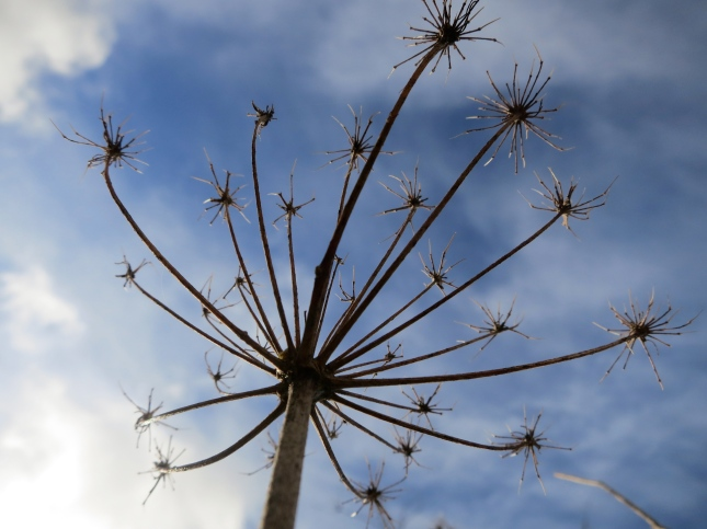 Fennel seed head against a Cornish sky