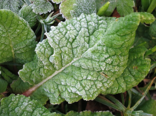 Frost enhancing the veining on the primrose leaves