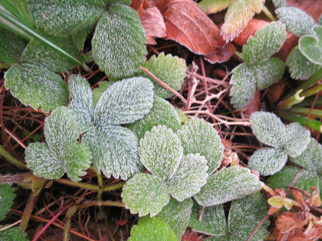 Frosted strawberry leaves