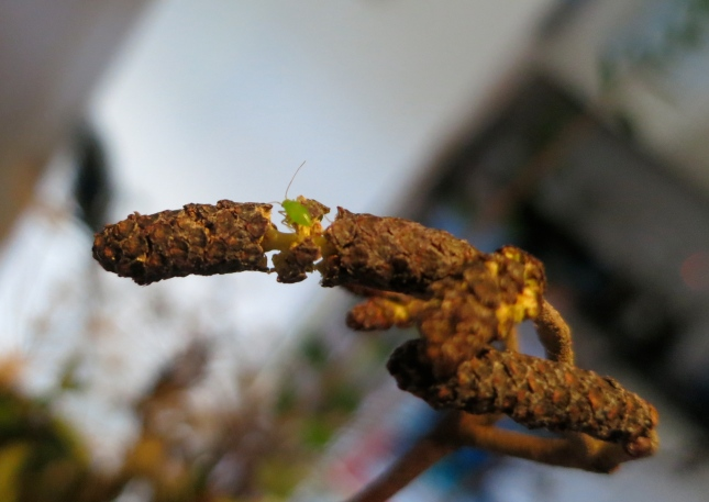 Greenfly on opening catkin