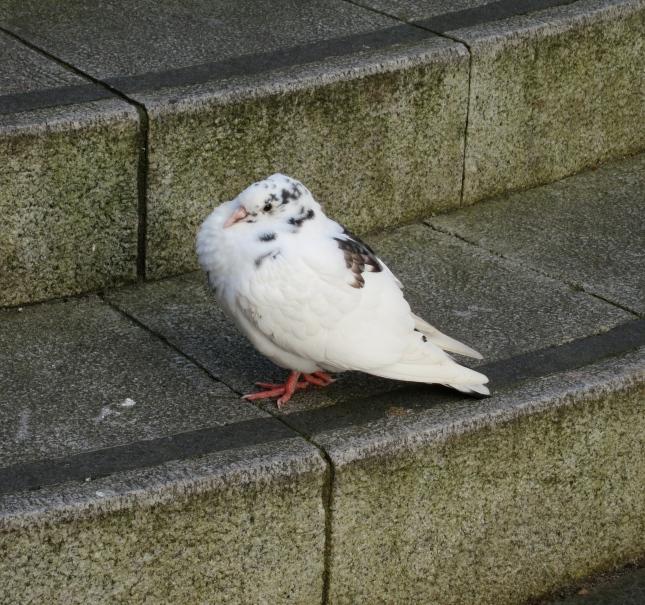 Huddled-up pigeon