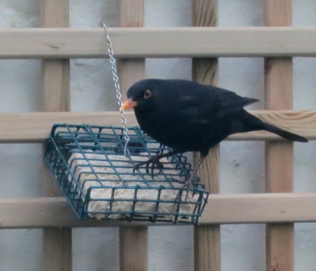 Blackbird at the feeder