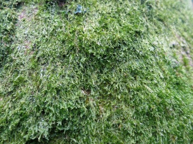 Moss with a velvety texture