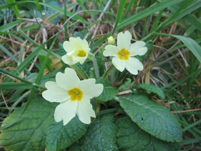 Primroses in the Cornish hedge