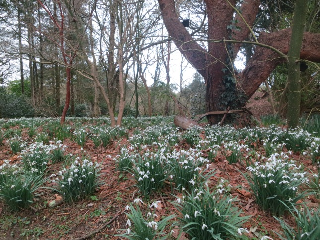 Snowdrops in Pine Lodge Gardens, St Austell
