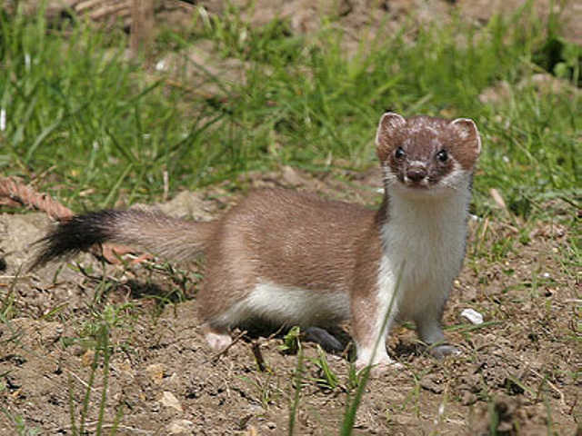 Stoat- photo from the BBC