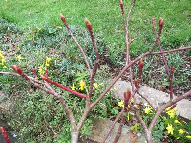 Beautiful red stems on the Cornus Controversa