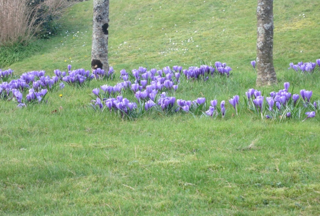 Crocuses in the hospital grounds
