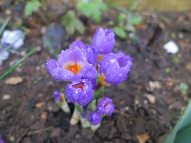 Crocuses with raindrops