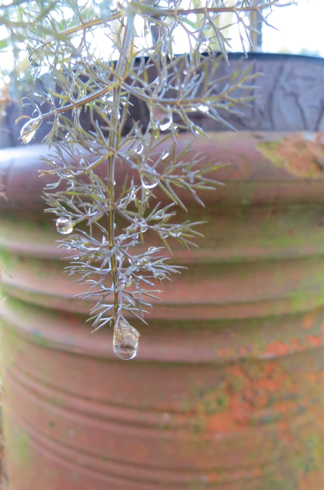 Frost on the fennel, melting