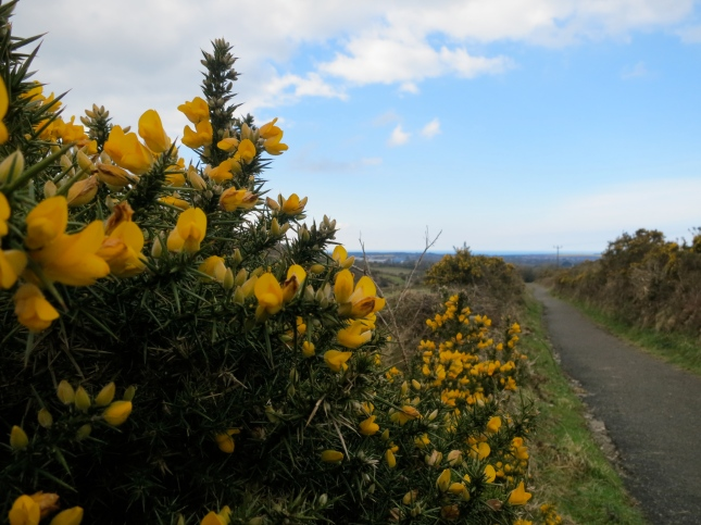 Gorse with sea on the horizon