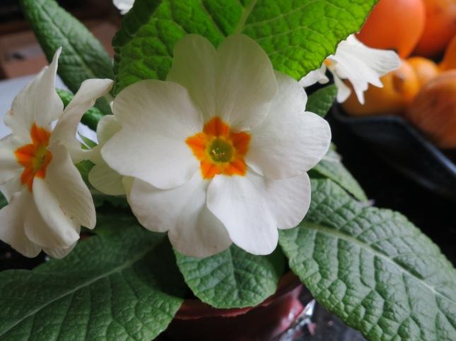 Present of Primroses