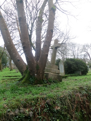 St Uny Graveyard; the tree has grown up through the gravestone.