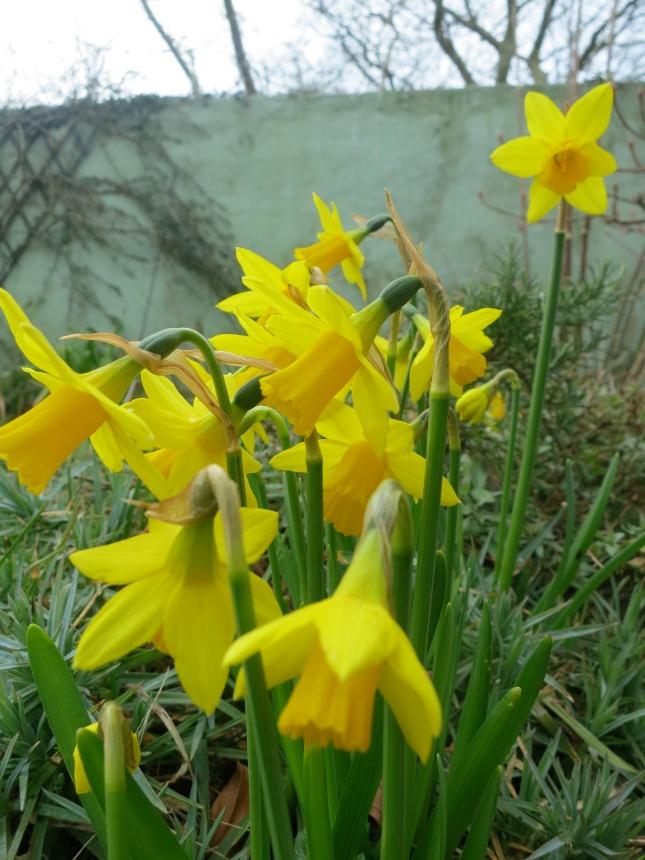 Tete a Tete daffodils