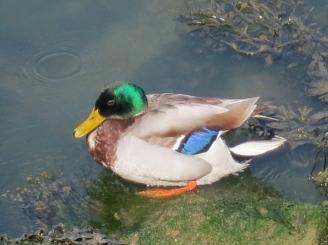 Colourful Mallard Duck