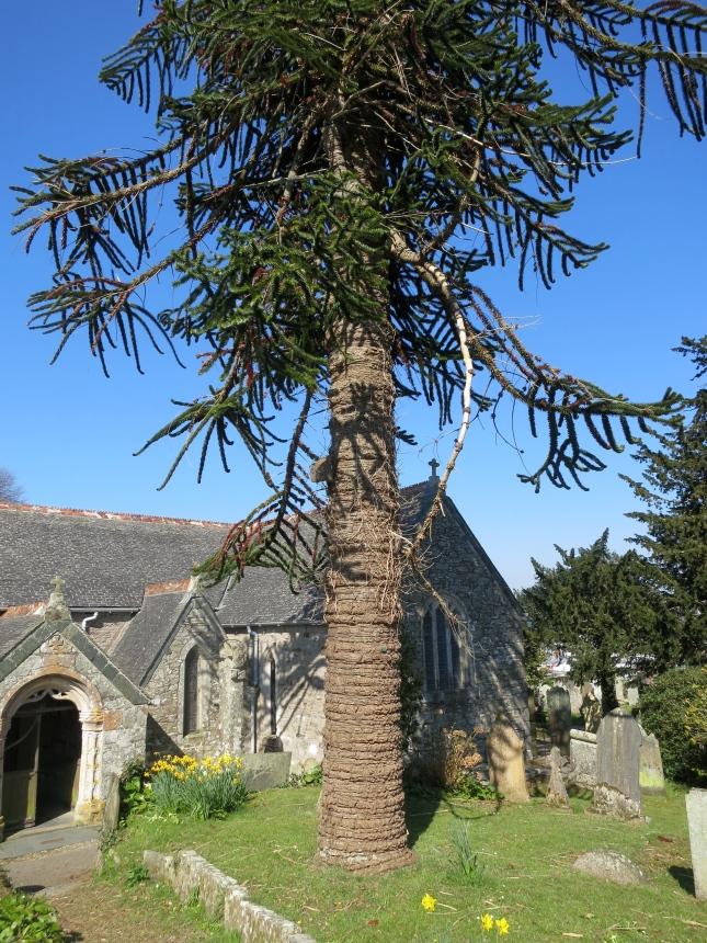 Beautiful tree trunk in Mylor Churchyard yesterday