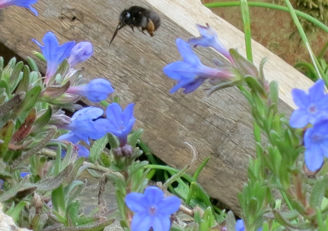 Bombylius Major on the Lithodora, Heavenly Blue