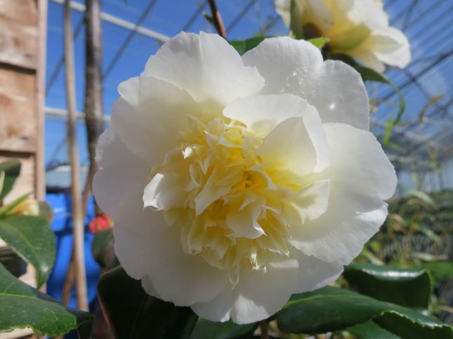 Camellia in the plant nursery