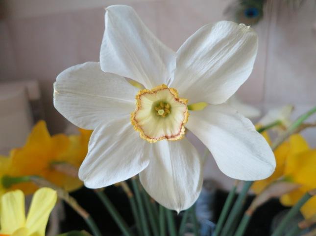 Delicate Narcissus