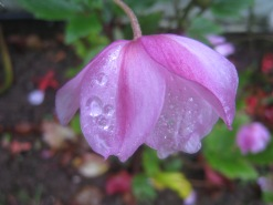 Pink flower with dewdrops