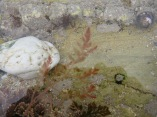 Delicate pink seaweed