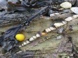Bright yellow sea snail in a rock pool