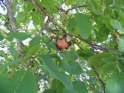 Looking up into a walnut tree in Meyssac